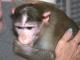 Război legal cu vecinii pentru o femeie care crește în casă trei maimuțe