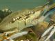 Crab albastru