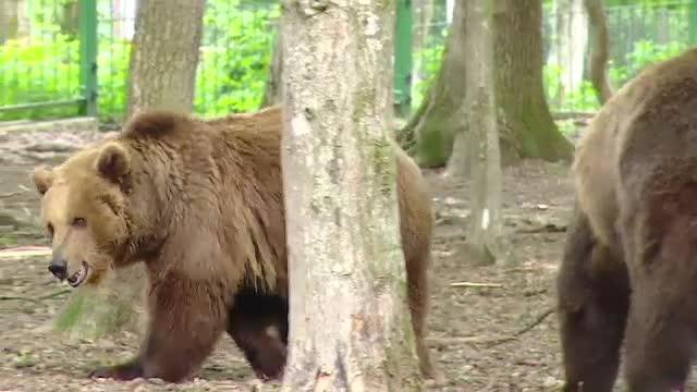 Gratarul de 1 mai al celor din Targu Mures, in pericol din cauza unei ursoaice cu pui. Zeci de vanatori sunt pe urmele ei