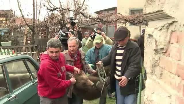 Cum a vrut politia din Sibiu sa captureze un pui de urs. L-au haituit, au dat cu petarde in el si au adus un Saint-Bernard