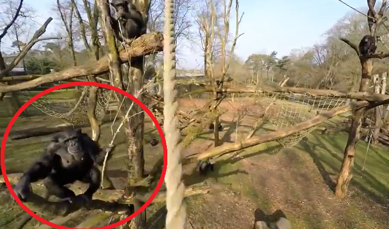 Gradina Zoologica din Olanda a vrut sa-si filmeze animalele cu o drona. Ce s-a intamplat dupa ce o maimuta a vazut gadgetul