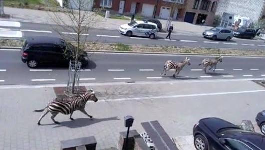 Trei zebre scapate de la o ferma au fost urmarite de politie pe strazile din Bruxelles. VIDEO