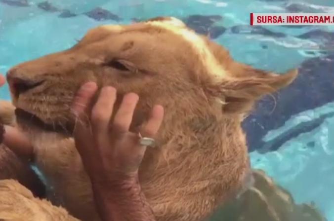 Un barbat se joaca cu un leu in piscina. The Telegraph spune ca imaginile au fost filmate in Romania