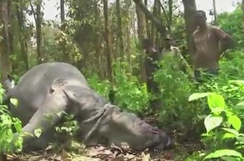 Rinocer urias, ucis cu zeci de gloante de braconieri care i-au taiat cornul. Ce se intamplase acolo cu cateva ore inainte