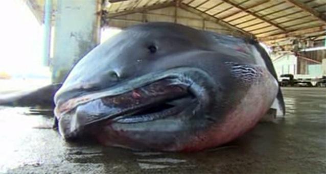 O creatura foarte rara, prinsa in Japonia. Cum arata rechinul cu gura de 5 metri. VIDEO