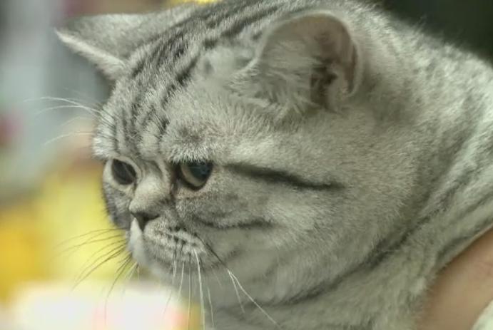 Peste 240 de pisici sofisticate sau in cautare de stapani s-au reunit la expozitie in Capitala