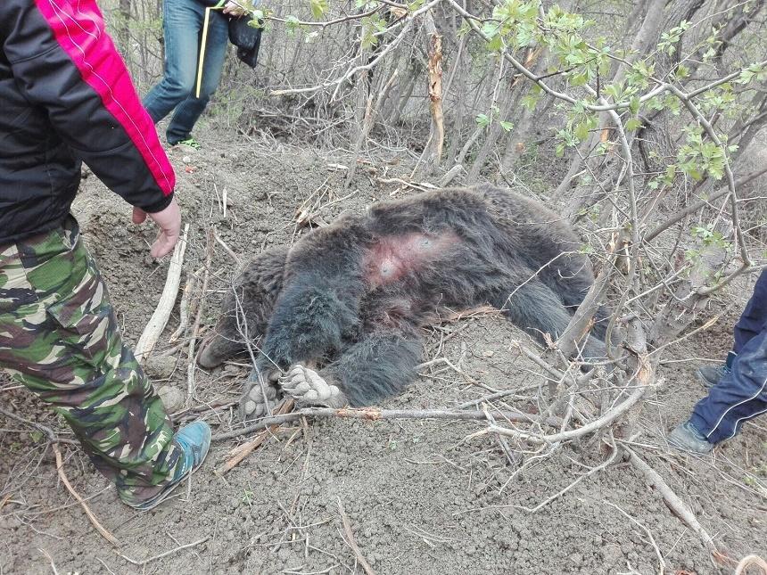 O ursoaica a ramas prinsa intr-un gard de sarma, intr-un sat din Buzau. Ce au facut jandarmii