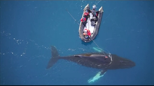 Un grup de cercetatori a instalat camere video pe balene din Antarctica. Ce au descoperit in urma experimentului