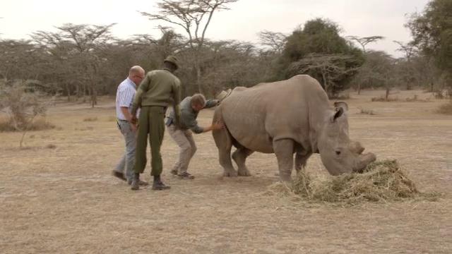 Un rinocer ramas ultimul din specia lui isi cauta partenera pe o aplicatie pentru intalniri: