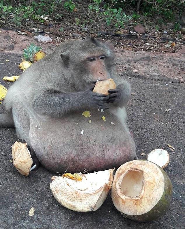 Maimuta obeza care mananca tot ce ii arunca turistii.