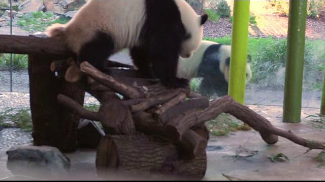 Doi urşi panda de la ZOO refuză să aibă o relaţie.