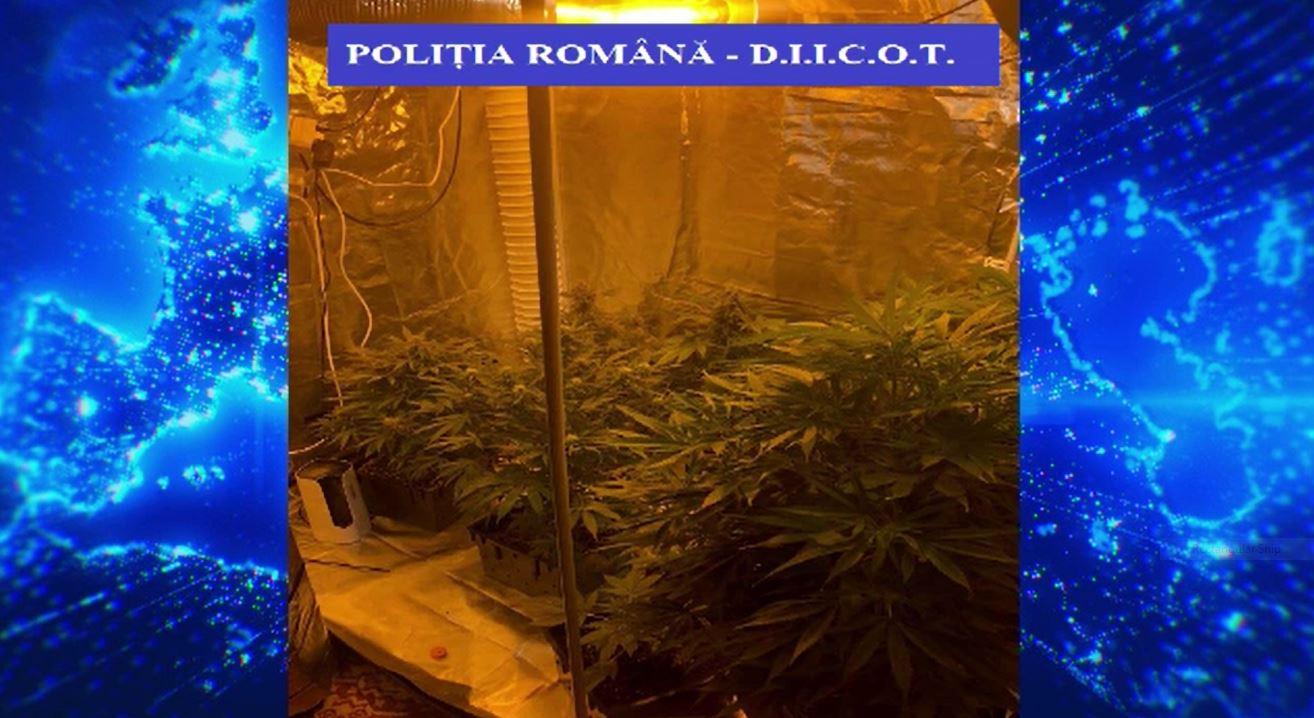 Plantație de cannabis descoperită în apartamentul unui tânăr din Satu Mare