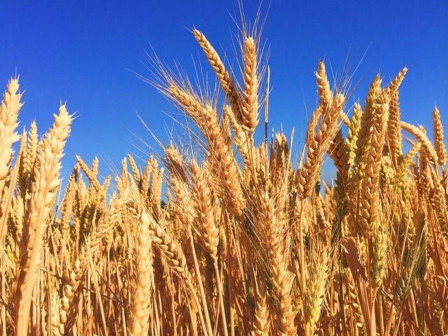 Pâinea s-a scumpit cu aproape 4%, dar România a exportat cereale de peste 1,3 miliarde de euro
