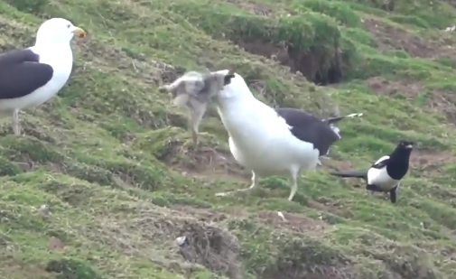 Imagini rare. Momentul în care un pescăruș scoate un iepure din vizuină şi îl înghite VIDEO