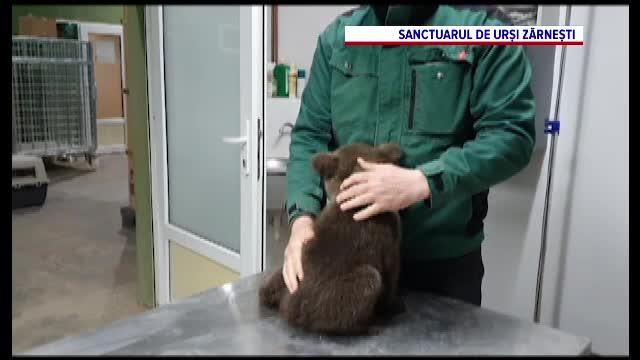 """""""Nicio faptă bună nu rămâne nepedepsită"""". Un ONG a fost amendat cu 10.000 lei pentru că a salvat doi pui de urs"""