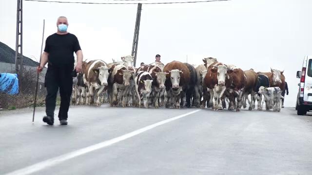 Fermierului care protestează în Maramureș cu cireada de vaci în stradă i s-a alăturat și un cioban, cu toată turma sa de oi