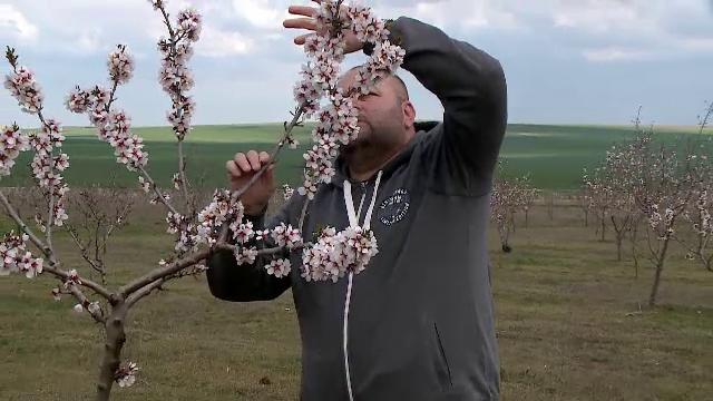Din cauza secetei, românii au început să crească migdali. Producem deja 5.000 de tone de migdale pe an