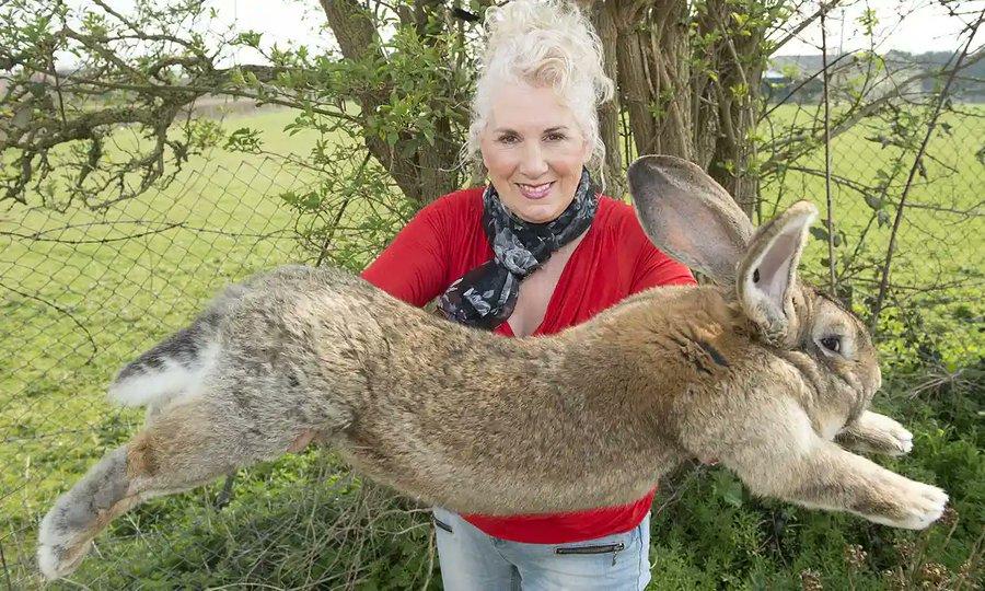 Darius, cel mai mare iepure din lume, a fost furat. Poliţia încearcă să găsească făptaşii