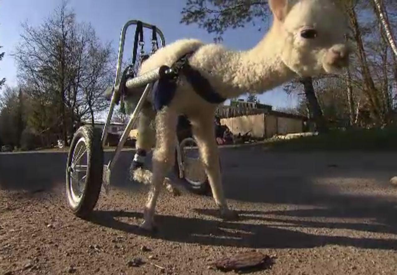 Marie, puiul de alpaca cu trei picioare care aleargă cu un cărucior special. A fost adoptată de o familie din Germania