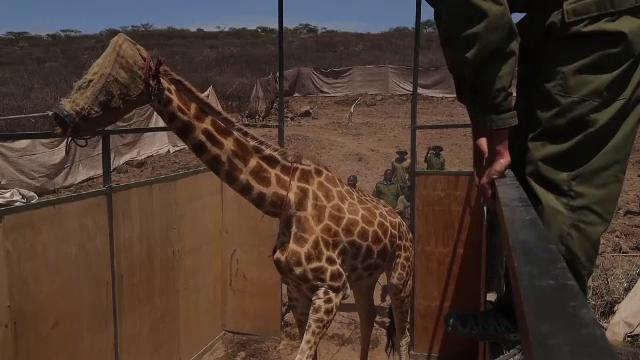 Mai multe girafe din Kenya au fost mutate cu armata. Care a fost motivul
