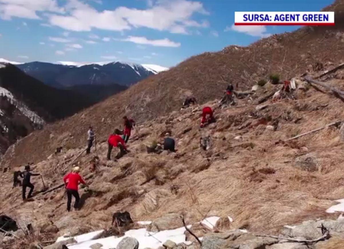 Voluntarii plantează în ritm alert copaci la 1400 de metri altitudine, în zona Făgăraș-Iezeru. S-au defrișat 300 ha