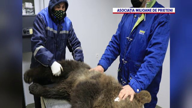 Un urs care intra în curțile localnicilor într-o localitate din Harghita, dus la sanctuarul de la Zărnești