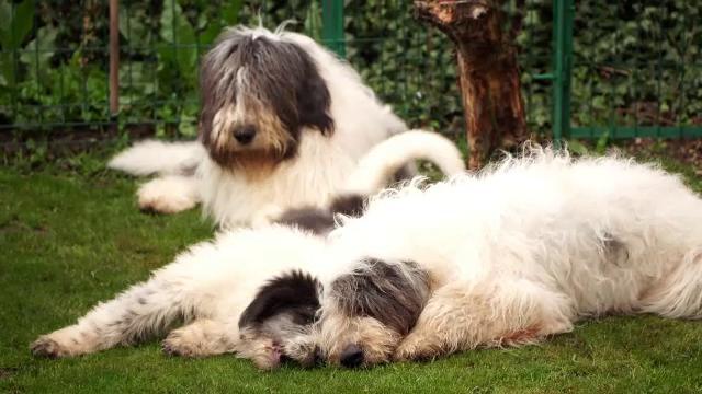 Cum au ajuns câinii ciobănești să se răspândească în Marea Britanie sau SUA