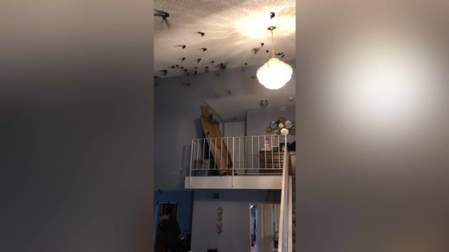 Sute de păsări au invadat locuința unor americani. Pe unde au intrat lăstunii
