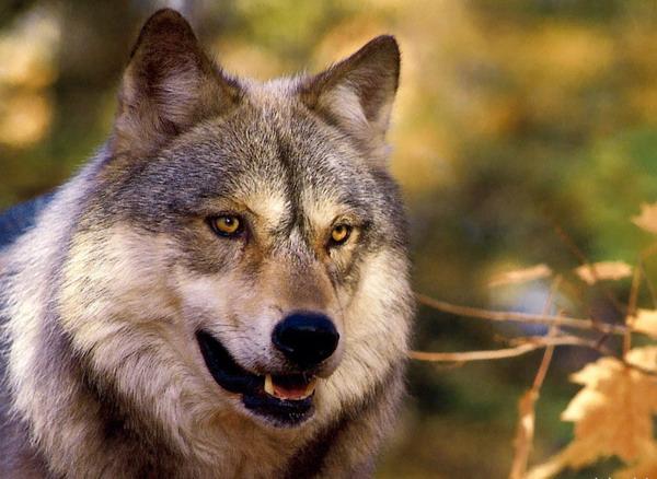 Doi pui de lupi, tinuti in captivitate de doi iubitori de animale din Bistrita-Nasaud
