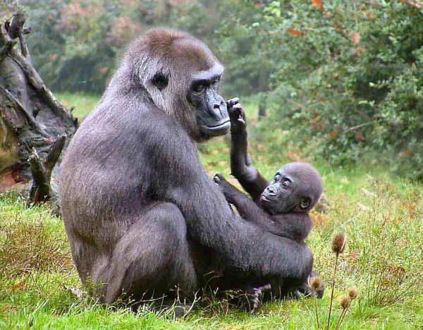 Josephine, gorila care suferea de cataracta, a fost operata!