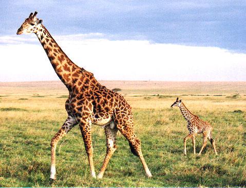 Amali, girafa care si-a sucit gatul in timpul unui transport!
