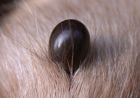 Isteria bolii Lyme. Zeci de aradeni au mers la Urgente intepati de capuse