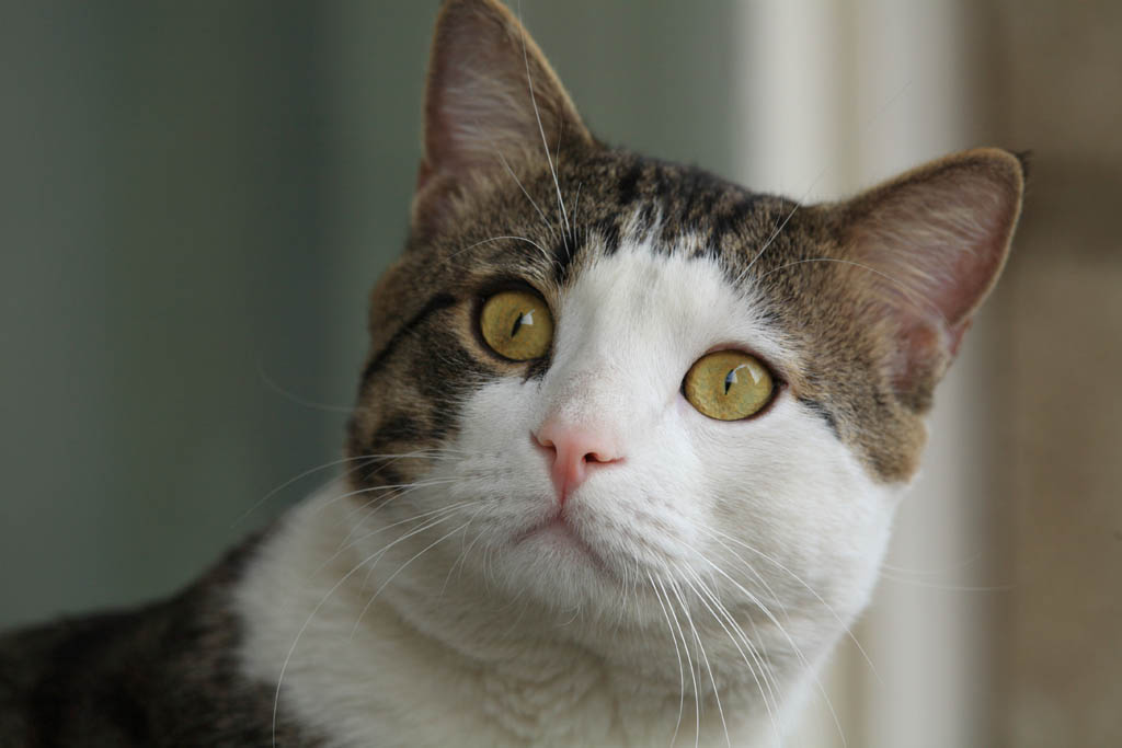 Grea decizie pentru jurati. S-a ales cea mai frumoasa felina din nu mai putin de 250 de pisici