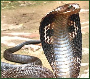 Un cunoscut prezentator Discovery a fost internat in spital dupa ce a fost muscat de o cobra regala