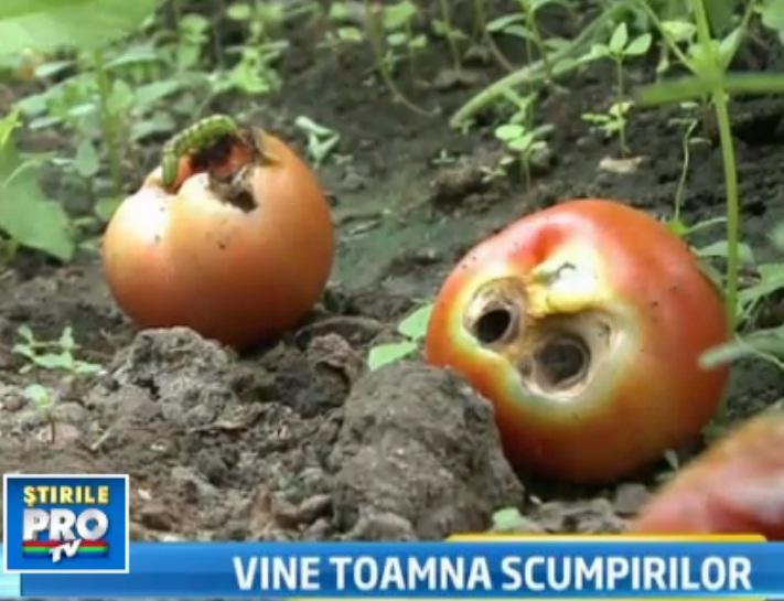 Blestemul secetei: legumele ramase, distruse de omizi. Rosiile, mai scumpe cu 30% din septembrie