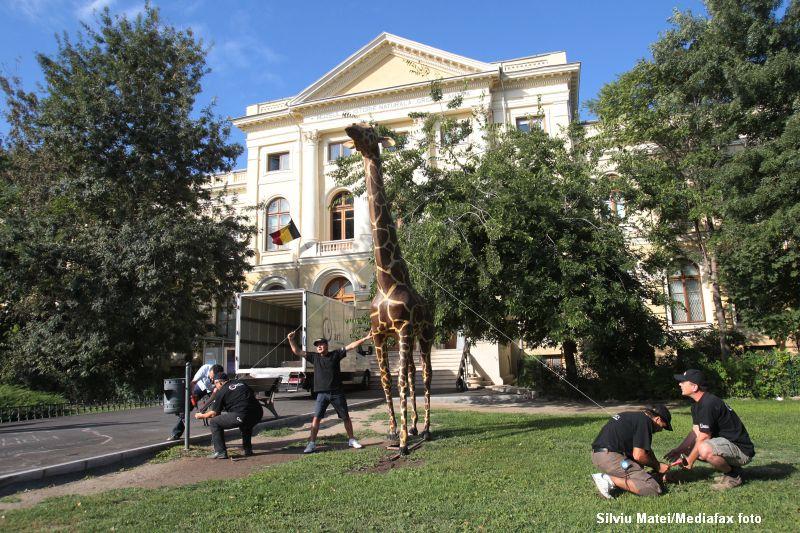 Girafa de la Antipa a fost restaurata si reamplasata in fata muzeului