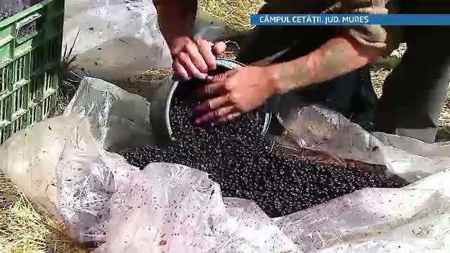Romanii saraci si fara carte isi cauta salvarea la munte. Zeci de familii culeg fructe de padure