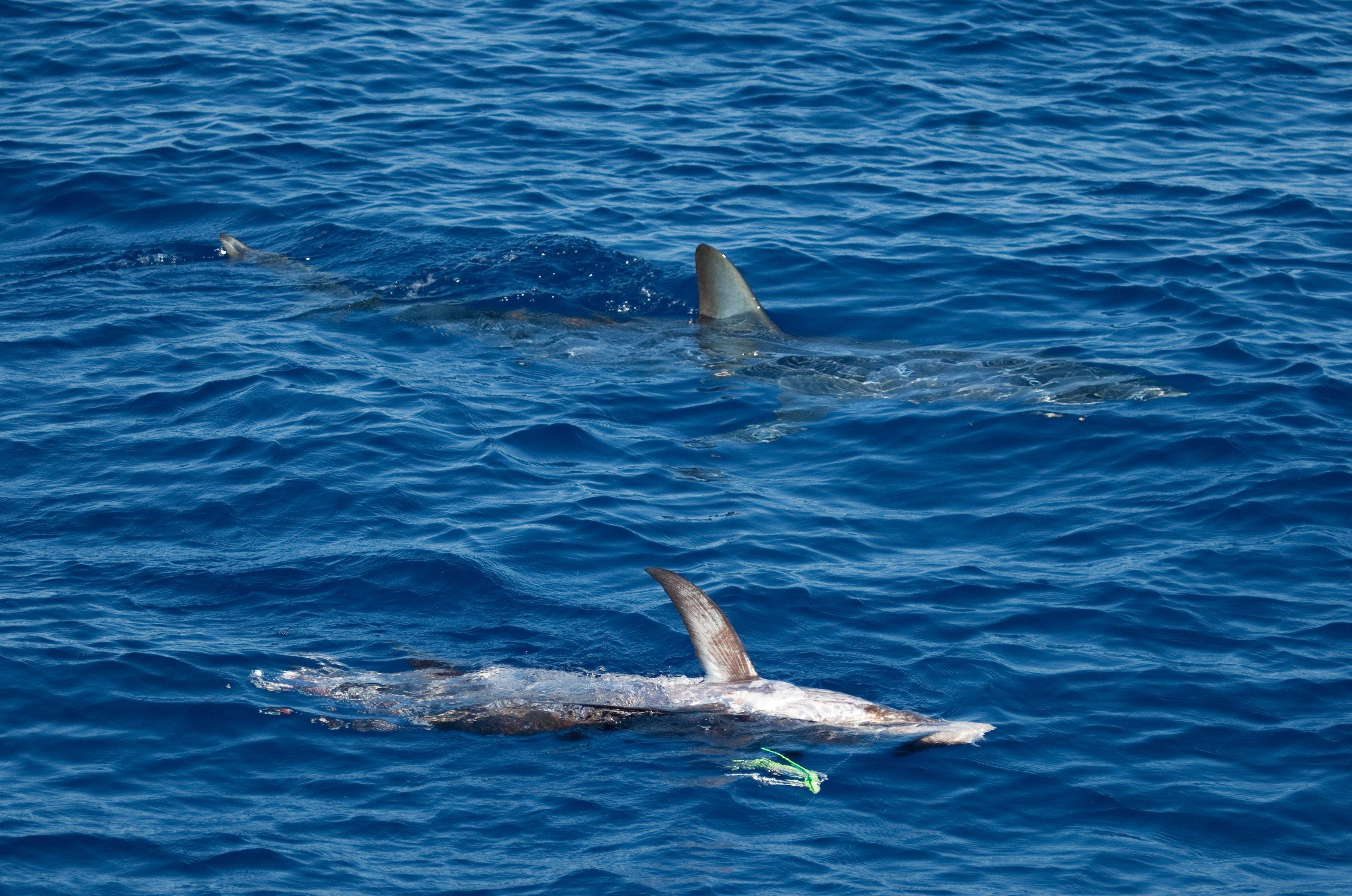 Ce a gasit un om de stiinta in cel mai mare exemplar de rechin mako descoperit vreodata. FOTO