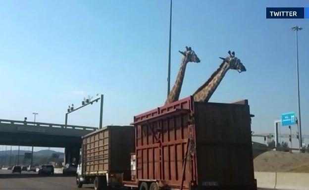 O girafa transportata la o ferma intr-un camion s-a lovit cu capul de un pod si a murit. O soferita a surprins totul