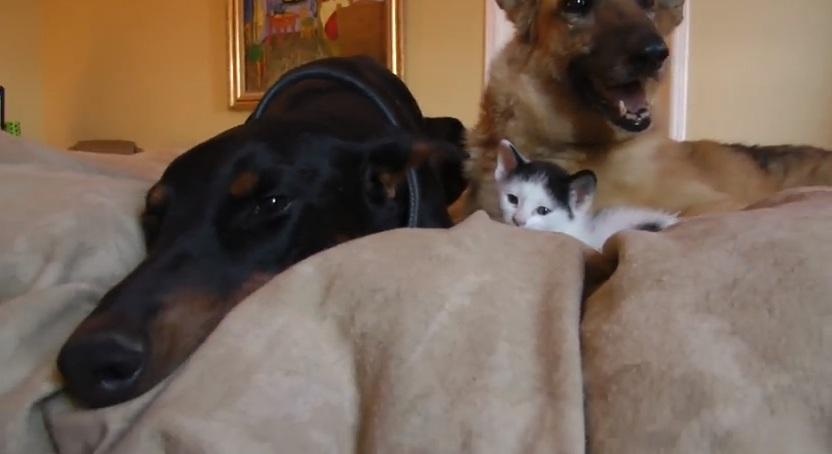 VIDEO 8 august este Ziua Internationala a Pisicilor: cum arata un pisoi intre doi catei