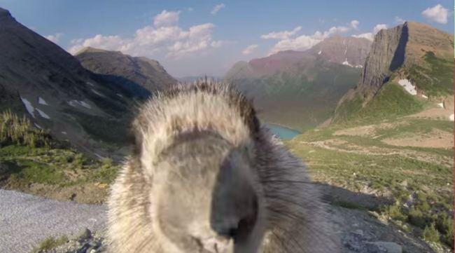 Aparitie surprinzatoare in cadru. O marmota