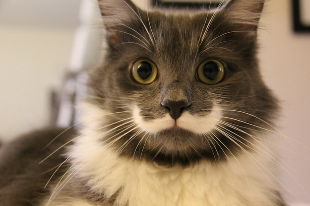 Motanul Hamilton, inzestrat cu o mustata de toata frumusetea, a cucerit Internetul. Imaginile cu felina au devenit viral