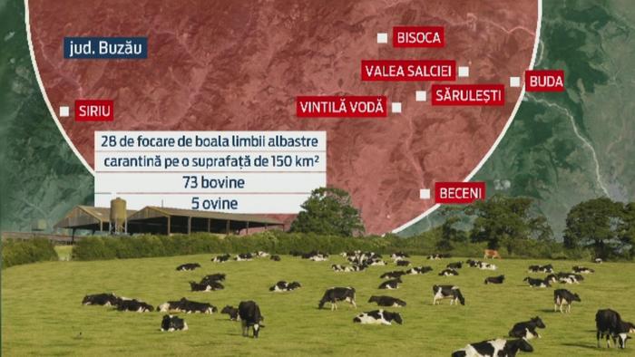 Romania intra in alerta sanitar-veterinara dupa ce boala limbii albastre la bovine a fost confirmata. Reactia ANSVSA