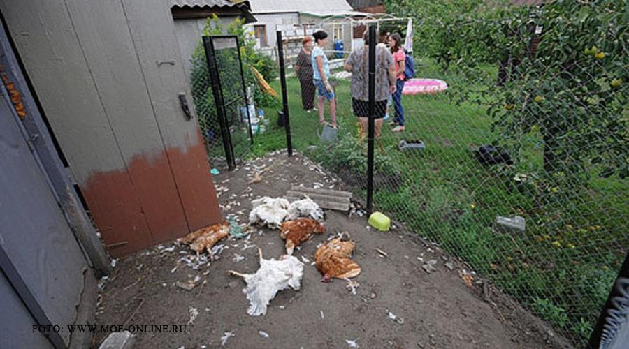 Satenii din sud-estul Rusiei se plang ca sunt atacati de Chupacabra.