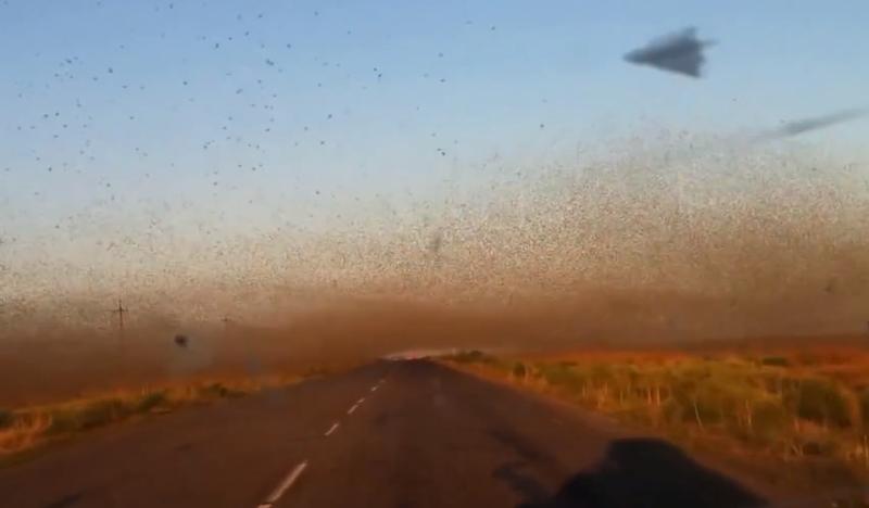 VIDEO Sudul Rusiei, asaltat de valuri de lacuste uriase. Peste o zecime dintre culturi au fost deja distruse