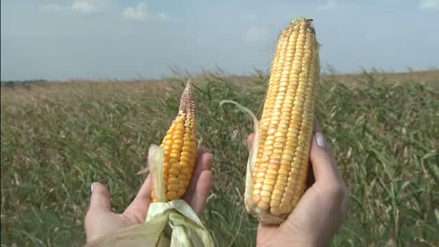 Situatie disperata din cauza secetei. Diferenta dintre fermierii care s-au rugat sa ploua si cei care au investit in irigatii