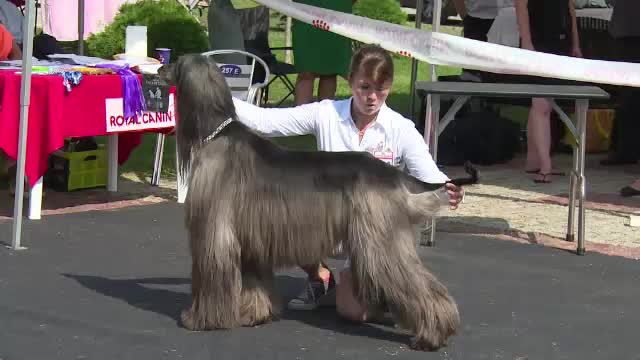 Cei mai aratosi caini din Europa sunt la Alba Iulia, la un concurs de frumusete. Ingrijirea lor costa sute de euro, lunar