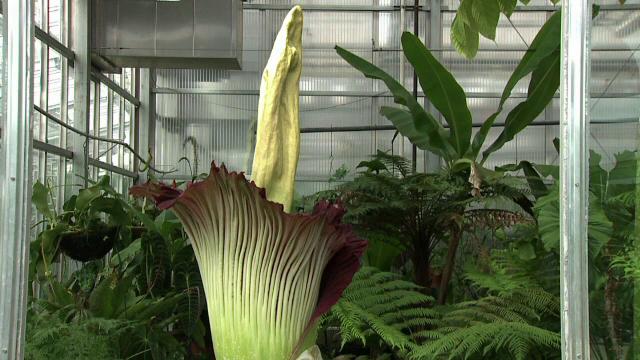 Mii de americani s-au strans la Gradina Botanica din Denver pentru a vedea floarea-cadavru:
