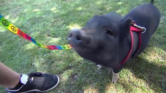 Americanii isi abandoneaza porcii cumparati pe post de animale de companie. Motivul pentru care renunta la ei