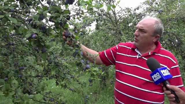 An profitabil pentru proprietarii de livezi. Productia de prune, de trei ori mai mare: